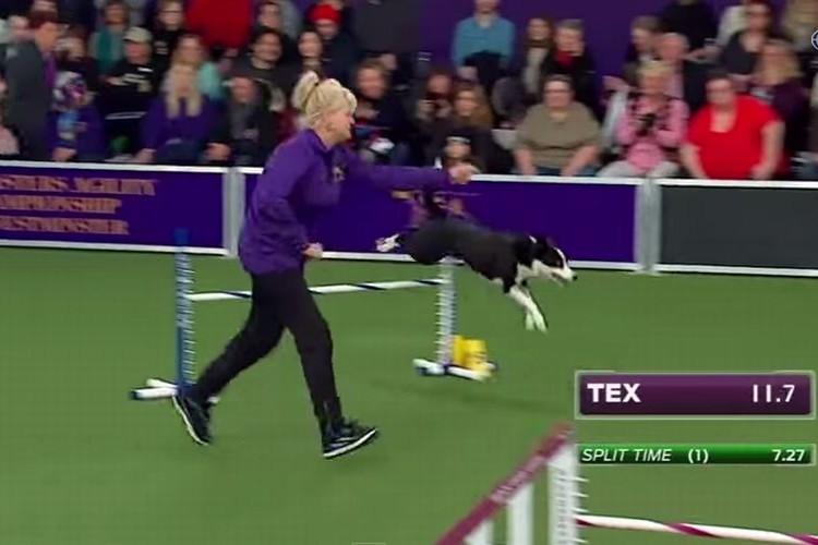 犬界のアスリート!「ボーダーコリー」の凄いパフォーマンス!超速アジリティ