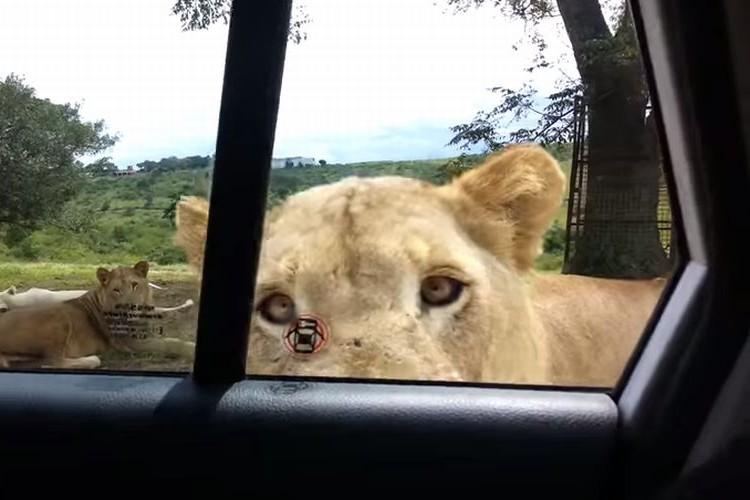 【衝撃映像】まさか!?サファリパークでライオンが車のドアを開けてきた!!