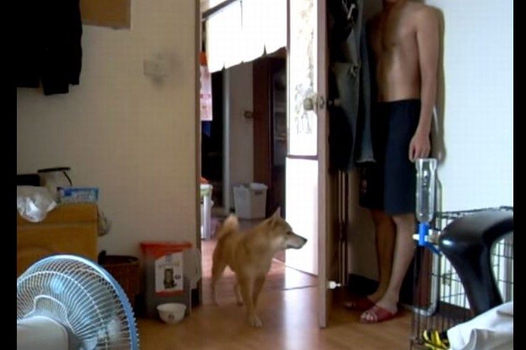 お家の中で柴犬とかくれんぼ。見ているだけで超絶に和む!柴ちゃんかわええー!