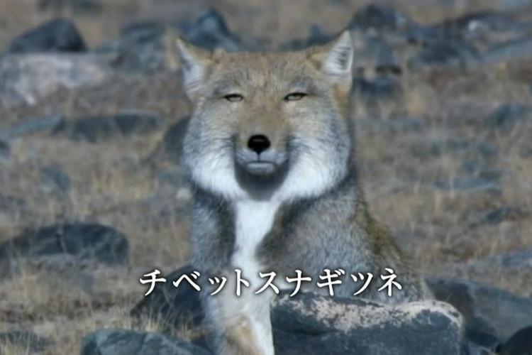 今日から使える!?「チベットスナギツネ」の冷たすぎる視線を真似してみよう!