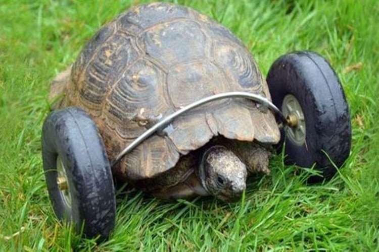 90歳にして前足を失くした亀、前足の代わりに車輪装備でサイボーグ化!