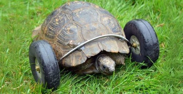 90-year-old-Tortoise-Ninja-Fast-Half-Cyborg-After-Wheels-Replace-Legs-Lost-in-Rat-Attack1__700r