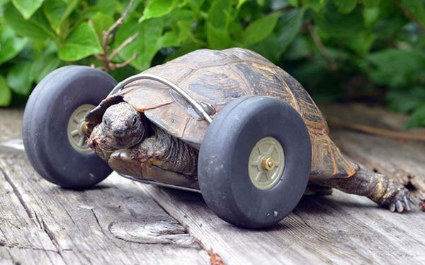 90-year-old-Tortoise-Ninja-Fast-Half-Cyborg-After-Wheels-Replace-Legs-Lost-in-Rat-Attack2__700r