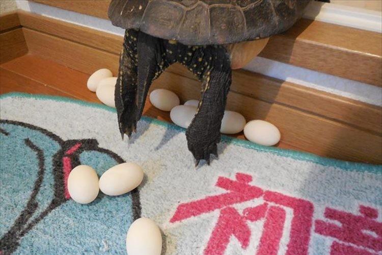 """以前、話題となった""""お風呂の入口で産卵する亀""""が今回も…!?"""
