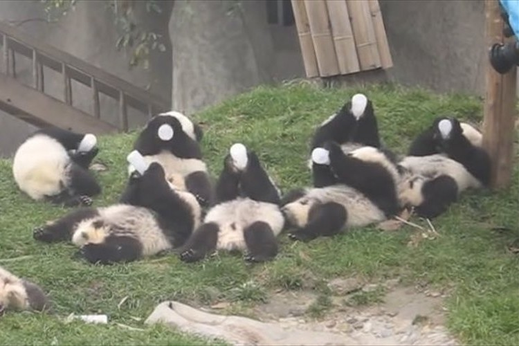 【希少映像】赤ちゃんパンダが、そろってミルクを飲む姿がカワイイ♪
