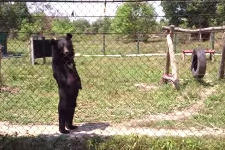 着ぐるみ!?と疑っちゃう位人間のように歩く本物の熊!