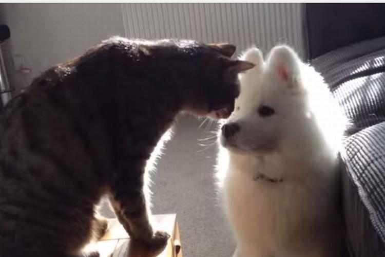 """サモエド犬と猫が3ヶ月でじわじわと仲良くなっていく過程に""""ほっこり"""""""
