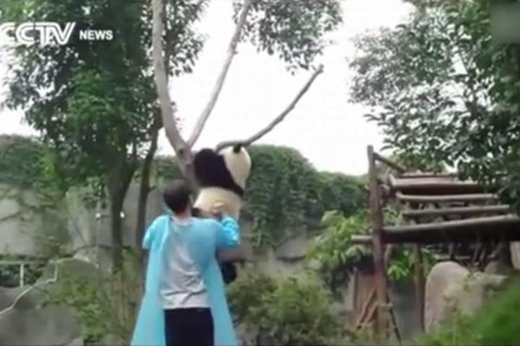 甘えん坊の子パンダ。木から降りるのは「抱っこして~」