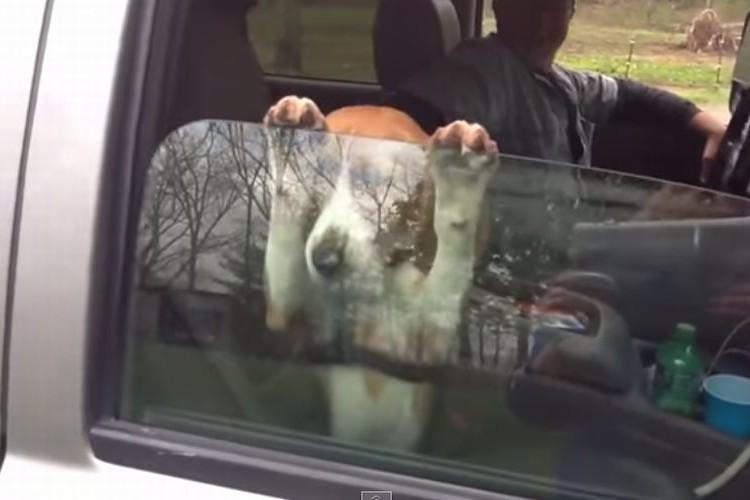 「窓を閉めないで!」必死に車の窓を閉まらないように抑えるビーグルの仔犬