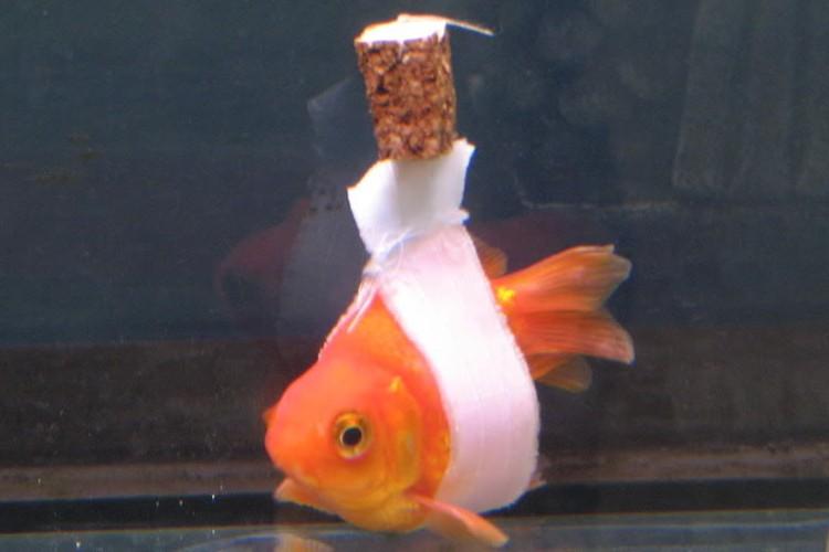 まっすぐ泳げない金魚のために作った「車イス」が、愛に溢れていると話題に!