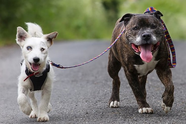 blind-dog-guide-best-friends-abandoned-rescued-stray-aid-shelter-glenn-buzz-1_R_