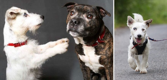blind-dog-guide-best-friends-abandoned-rescued-stray-aid-shelter-glenn-buzz-7_R