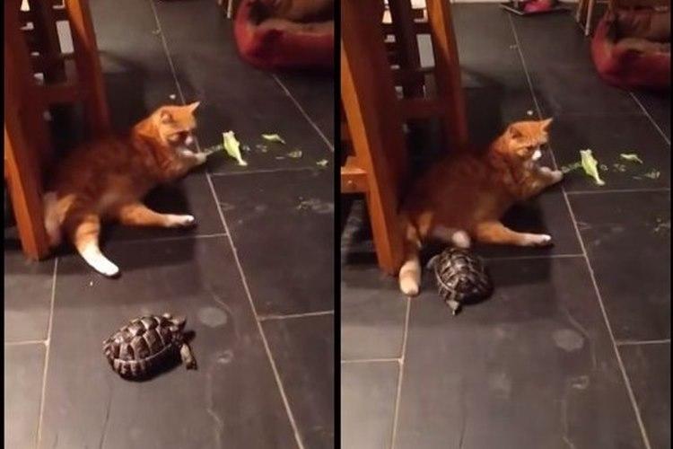 【しつこい亀】なぜか猫に攻撃し続ける亀、相当な恨み??