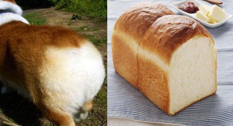 食パン??いいえ、コーギーのお尻です!