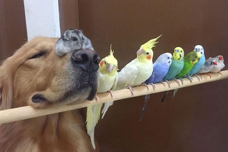 ゴールデンレトリーバーと8羽の小鳥、時々ハムスター。仲良し家族写真!