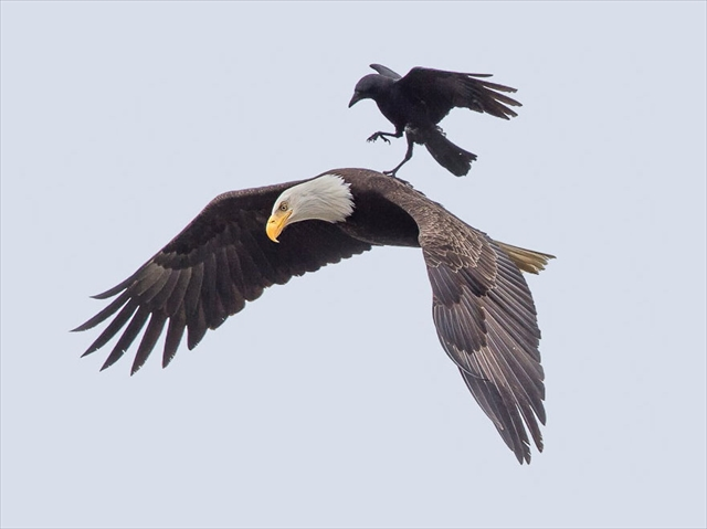 crow-rides-eagle-bird-photography-phoo-chan-1_R