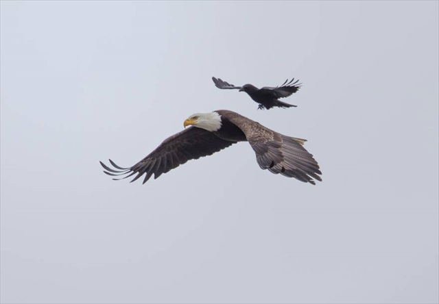 crow-rides-eagle-bird-photography-phoo-chan-6_R