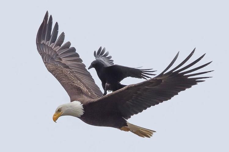 ワシの背中に乗って、ラクして自分で飛ばないカラスが話題に!