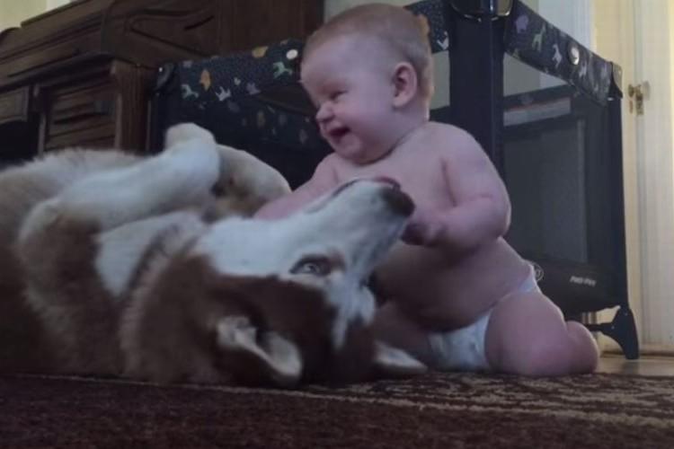 【赤ちゃんと犬】よちよちやってくる赤ちゃんにお腹をごろんとみせるハスキー犬がかわいい