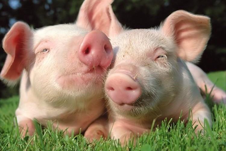 ご存じでしたか?豚の体脂肪率は、女性モデル並み!!実はスタイル抜群だった