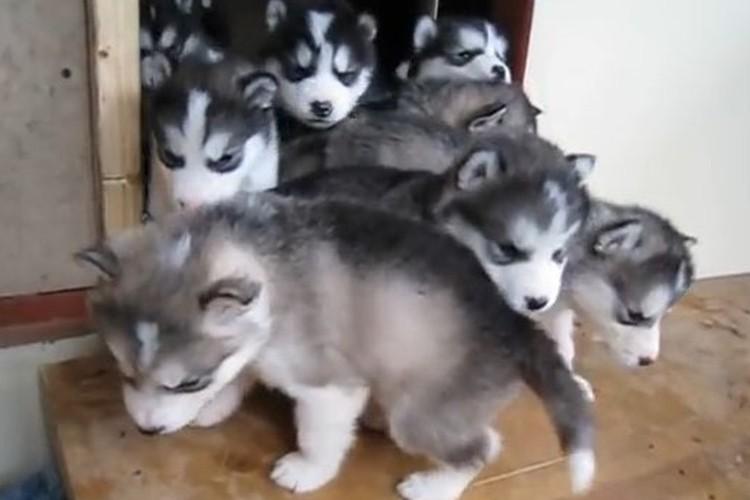 外に出れず…ドアの出入口で起こった子犬の渋滞が可愛すぎる!