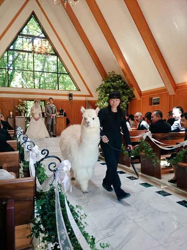 wedding-alpaca-witness-Epinard-Nasu-japan-1r
