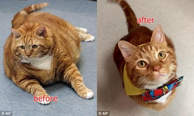 18.6キロの超肥満ネコがダイエットを頑張ったらなんと半分以下になっちゃった