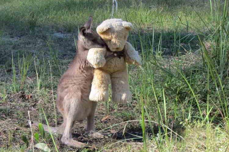 【感動】母を失い孤立した赤ちゃんカンガルーがテディベアで救われる!