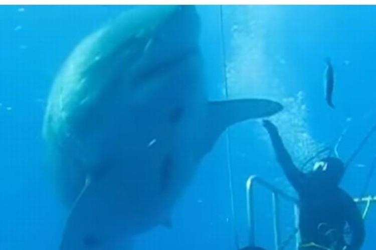 撮影された中で史上最も巨大なホオジロザメ「ディープブルー」がマジでデカイ!