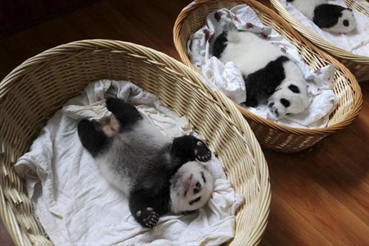 「可愛すぎる」「抱っこしたい」生後1週間のパンダの赤ちゃんのお披露目が話題に