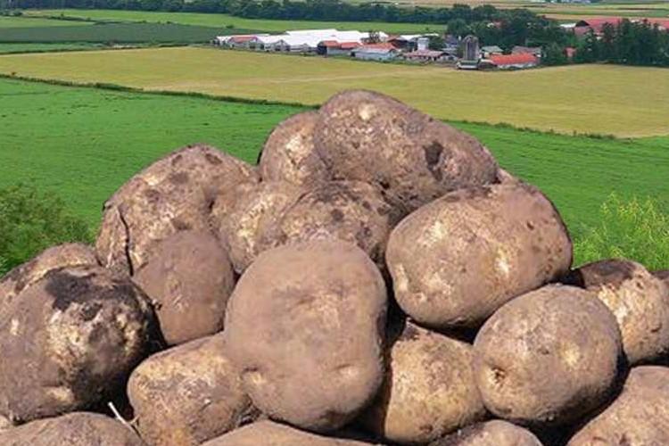 「北海道のジャガイモに国内初の害虫」農家のツイートに考えさせられる