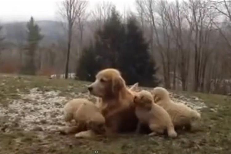 遊びたい盛りの子犬たちが母犬を襲撃!たまらずノックアウト