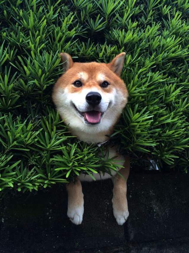 shiba-inu-stuck-in-bush-japan-2_R
