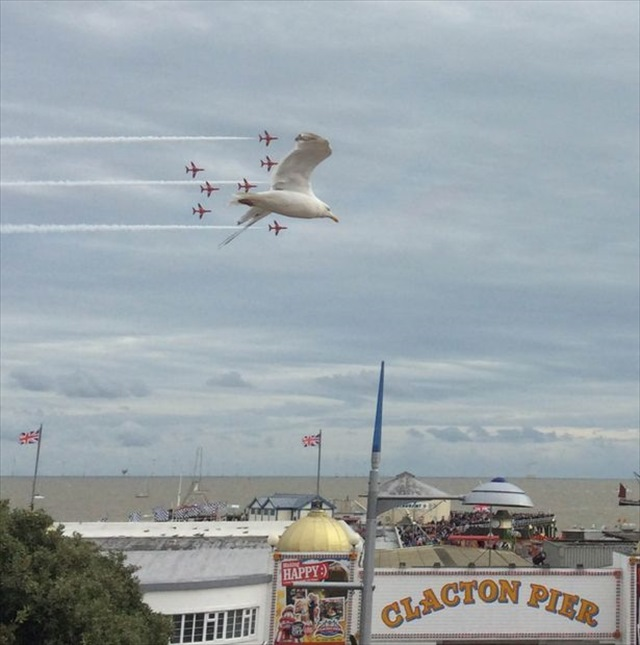 PAY-Seagull-photobombs-the-red-arrows-flying-over-Clacton-Air-Showdw_R
