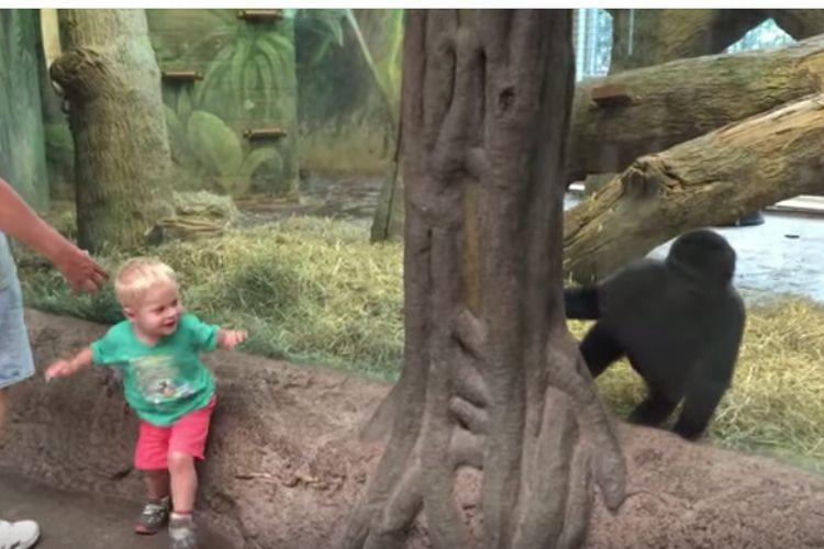 【超かわいい】「こっちだよぉー!」ガラス越しに遊ぶ少年とゴリラの子供