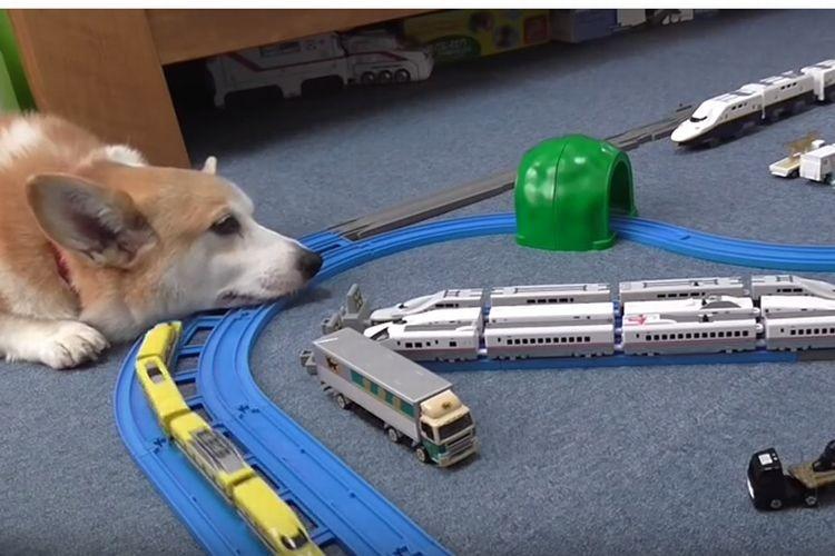 「眠いコーギー vs 線路を走るプラレール」どっちが勝つかな?