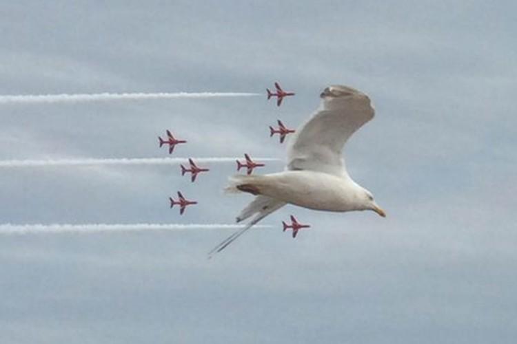 """""""アクロバット飛行に飛び入り参加した1羽のカモメ""""が隊長機のようだと話題!"""