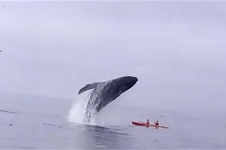 【動画】危ない!!巨大なクジラが観光客の上に豪快にダイブして下敷きに!?