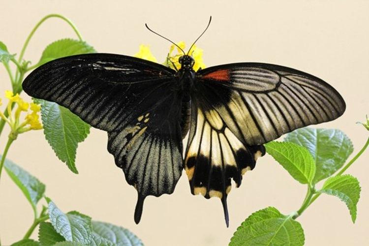 【1万分の1の奇跡】雌雄モザイクの蝶が発見される。なんと右半分がメス、左半分がオス