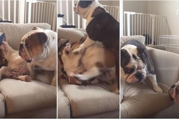「イジメ、ダメ、ゼッタイ」弟犬を体を張って守る姉犬が見事!