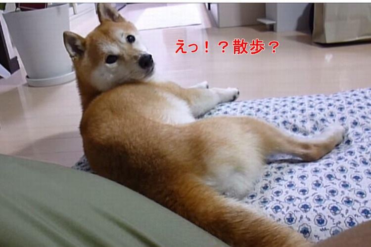 【犬あるある】散歩に行きたい柴犬「さてと」→ビクン!「ご飯」→無視...