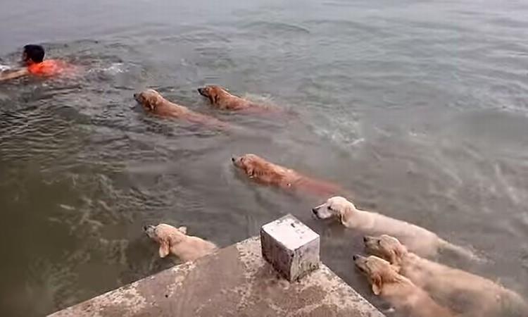 ゴールデンレトリバーの集団が迫ってくる!12匹の群れが男性に詰め寄る理由とは?