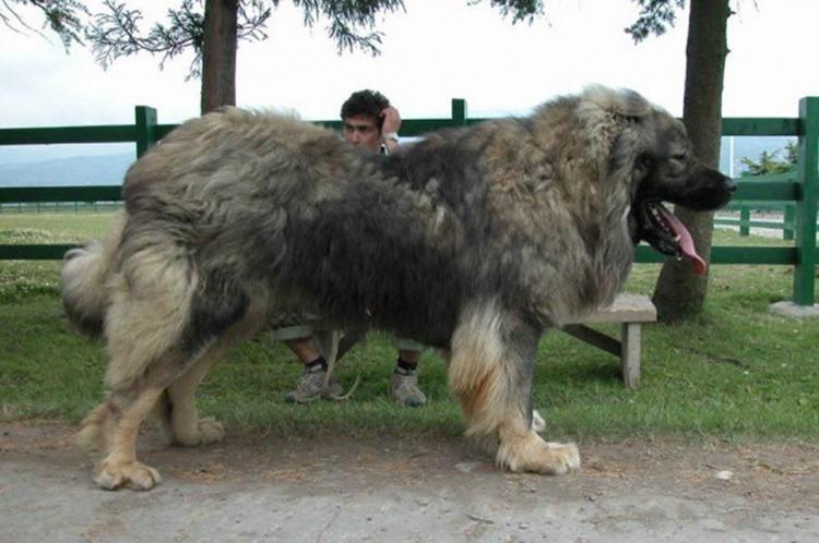 【マジか!?】想像以上にでかい!飼い主も困惑するほど大きく育った犬たち
