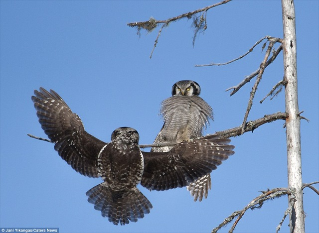 2E01785500000578-3299511-The_owl_which_is_native_to_Finland_and_one_of_the_few_species_to-a-3_1446490118872_R