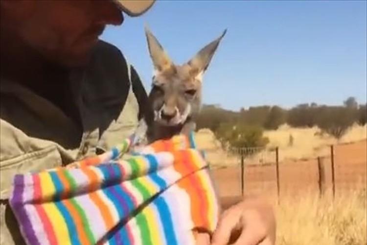 【動画】袋への入り方がスムーズ!赤ちゃんカンガルーはやっぱり袋が好きだった!