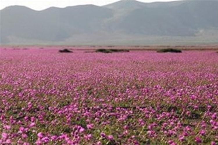 """エルニーニョ現象によって、草ひとつ生えていない砂漠が""""一面の花畑""""に!"""
