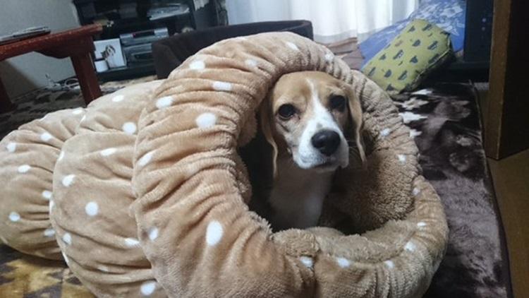 犬たちをダメにするしまむらのロールクッションが想像以上にヤバい!しまむらホイホイ。