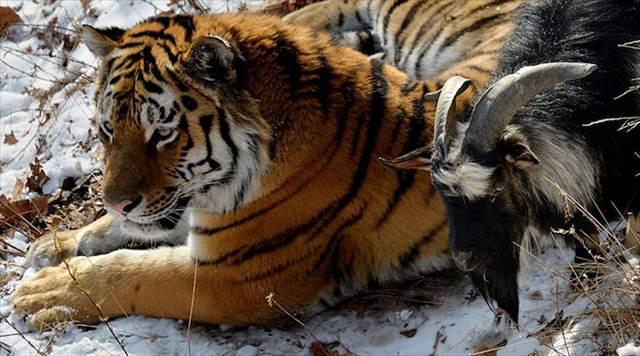 TigerGoat