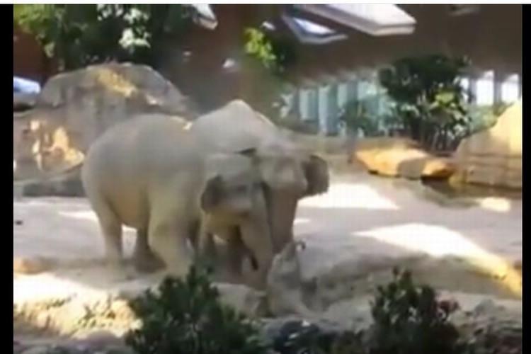 これぞ親子愛!?我が子のピンチに猛スピードで駆け寄る親ゾウたちに