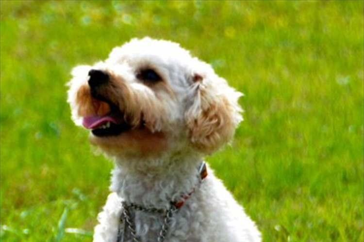 """人間に見捨てられ""""殺処分寸前で救われたトイプードル""""が、""""人を救助する警察犬""""に合格"""
